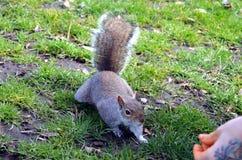 Ardilla que come nueces en el parque Foto de archivo