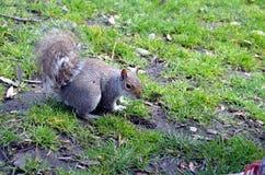 Ardilla que come nueces en el parque Foto de archivo libre de regalías