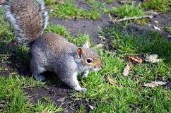 Ardilla que come nueces en el parque Imagen de archivo libre de regalías