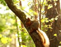 Ardilla que come nueces en un árbol Fotografía de archivo libre de regalías