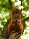 Ardilla que come nueces en un árbol Fotografía de archivo
