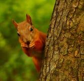 Ardilla que come nueces en un árbol Imagen de archivo