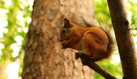 Ardilla que come nueces en un árbol Fotos de archivo