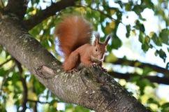 Ardilla que come nueces en una rama de árbol Foto de archivo libre de regalías