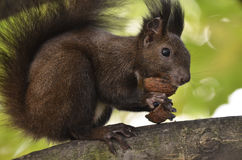 Ardilla que come nueces en una rama de árbol Imagenes de archivo
