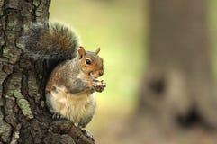 Ardilla que come tuercas Fotografía de archivo libre de regalías