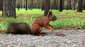 Ardilla que come tuercas en el bosque del otoño almacen de metraje de vídeo