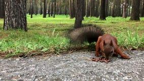 Ardilla que come tuercas en el bosque del otoño almacen de video