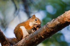 Ardilla que come una nuez Foto de archivo libre de regalías