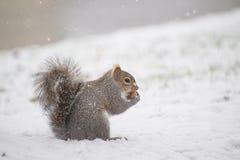 Ardilla que come una nuez en invierno Fotografía de archivo libre de regalías