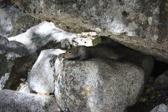 Ardilla que mira a escondidas a través de rocas Imagenes de archivo
