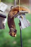 Ardilla que roba el germen del pájaro imagen de archivo libre de regalías