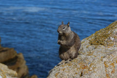 Ardilla que se coloca en roca Imagen de archivo libre de regalías