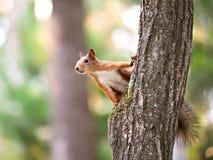Ardilla que se sienta en el árbol Foto de archivo libre de regalías