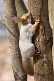 Ardilla que se sienta en el árbol Foto de archivo