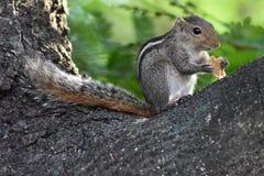 Ardilla que se sienta en rama de árbol y comer la comida foto de archivo