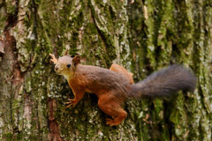 Ardilla que se sienta en un árbol Fotografía de archivo libre de regalías