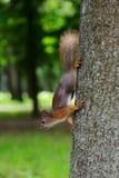 Ardilla que se sienta en un árbol Foto de archivo libre de regalías