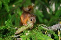 Ardilla que se sienta en un árbol Imagen de archivo libre de regalías