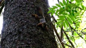 Ardilla que se sienta en un ?rbol Salto en las ramas abajo a la tierra para las semillas que traen a gente almacen de metraje de vídeo
