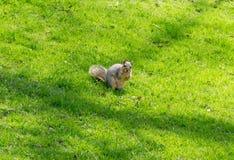 Ardilla que sostiene la comida en fondo de la hierba verde Foto de archivo