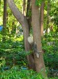 Ardilla que sube abajo el árbol Fotos de archivo libres de regalías