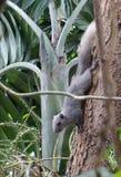 Ardilla que sube abajo el árbol Fotografía de archivo libre de regalías