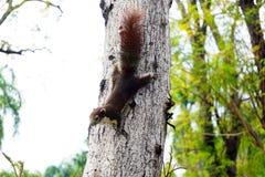 Ardilla que sube abajo un árbol Pequeño animal peludo de mirada lindo Fotografía de archivo