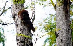 Ardilla que sube abajo un árbol Pequeño animal peludo de mirada lindo Foto de archivo