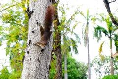 Ardilla que sube abajo un árbol Pequeño animal peludo de mirada lindo Fotos de archivo libres de regalías