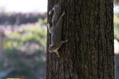 Ardilla que viene abajo un árbol, parque del invierno, Orlando, la Florida Imagenes de archivo