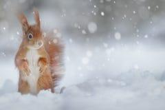 Ardilla roja adorable en nieve del invierno Fotos de archivo