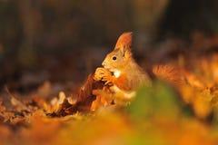 Ardilla roja con la nuez en las hojas anaranjadas Fotografía de archivo libre de regalías