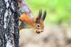 Ardilla roja curiosa juguetona divertida que mira furtivamente de detrás un árbol con las avellanas nuts Fotos de archivo
