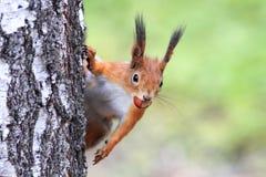 Ardilla roja curiosa juguetona divertida que mira furtivamente de detrás un árbol con las avellanas nuts Foto de archivo