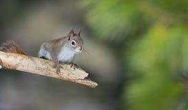 Ardilla roja de la primavera entrañable en una rama del pino Pequeña criatura rápida del arbolado que corre para arriba y abajo á Imagen de archivo