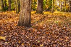 Ardilla roja debajo del árbol foto de archivo libre de regalías
