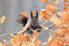 Ardilla roja en el invierno, forma negra Imagen de archivo libre de regalías
