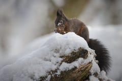 Ardilla roja en invierno Foto de archivo