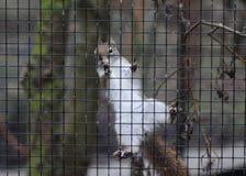 Ardilla roja en jaula Fotografía de archivo libre de regalías