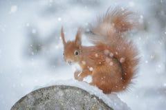Ardilla roja en nieve del invierno Foto de archivo libre de regalías