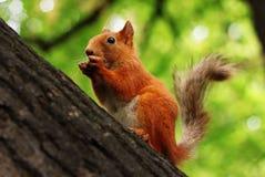 Ardilla roja en un árbol Foto de archivo libre de regalías