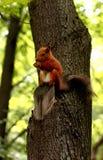 Ardilla roja en un árbol Imagen de archivo libre de regalías
