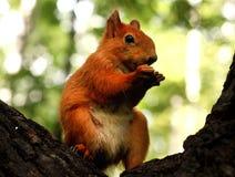 Ardilla roja en un árbol Fotos de archivo