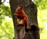 Ardilla roja en un árbol Imágenes de archivo libres de regalías