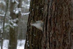 Ardilla roja eurasiática en abrigo de invierno gris con los oído-penachos en el bosque nevado del invierno en la región de Ural Fotos de archivo libres de regalías