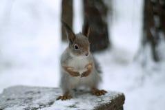 Ardilla roja eurasiática en abrigo de invierno gris con los oído-penachos en el bosque nevado del invierno en la región de Ural Fotografía de archivo