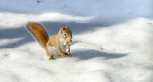 Ardilla roja linda, pequeña criatura rápida del arbolado El critter del arbolado se aprovecha de un día caliente de la primavera Imagen de archivo