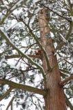 Ardilla roja linda que se sienta en tronco de árbol en bosque del invierno foto de archivo