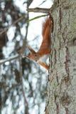 Ardilla roja linda que se sienta en tronco de árbol en bosque del invierno fotografía de archivo
